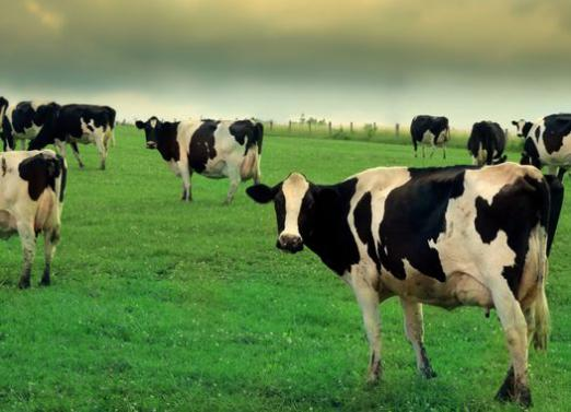 Why dream of a herd of cows?