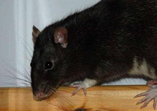 Why dream of a black rat?