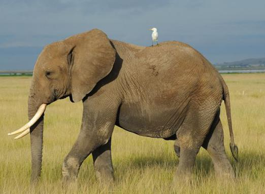 What is the difference between an African elephant and an Indian elephant?