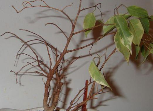 Why does the ficus shed its leaves?