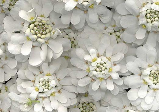 Why are the flowers white?