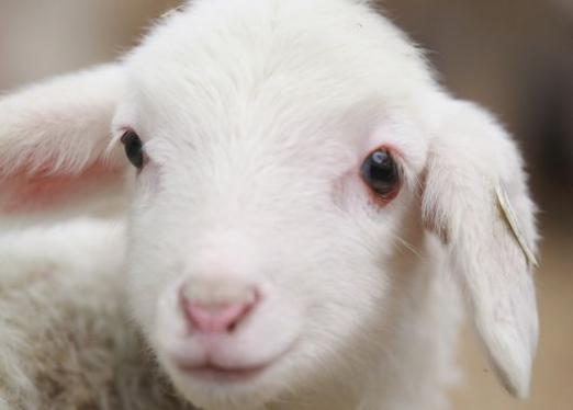 What do you call a goat?