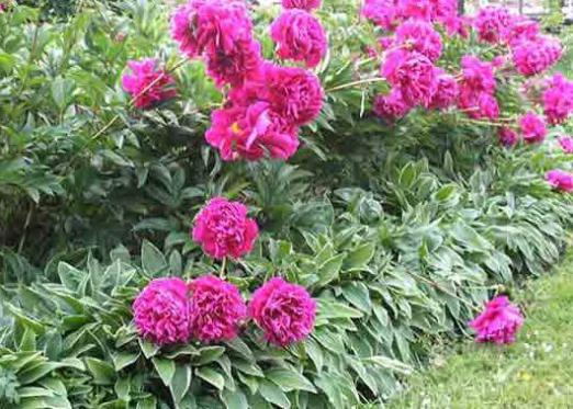 When to plant peonies?