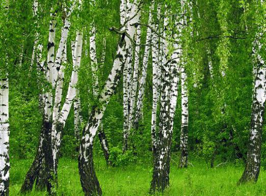 Where does birch grow?