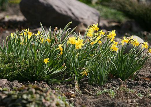 When to dig daffodils?
