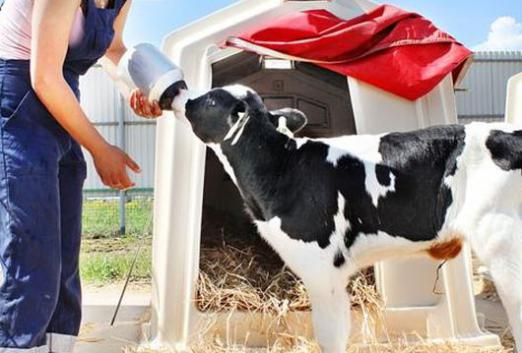 How to feed a calf?