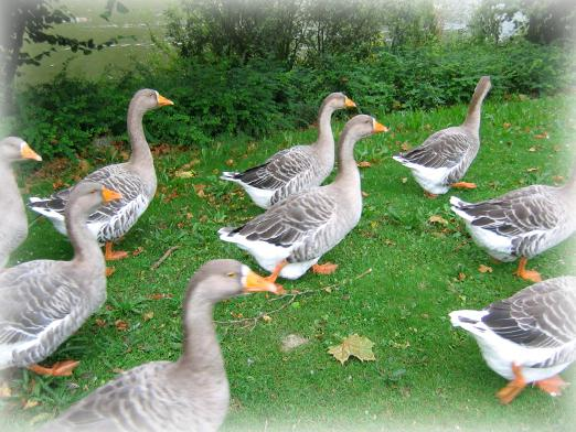 What dreams of geese?