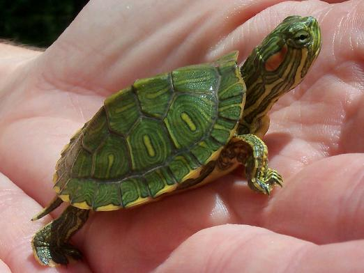 How to determine the age of the turtle?