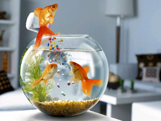 What to feed the fish?