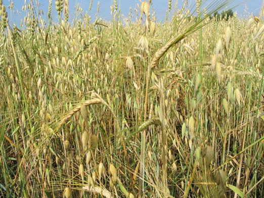 What is chaff?