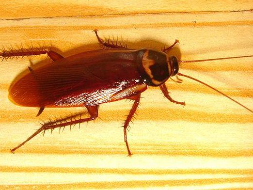 How to poison cockroaches?
