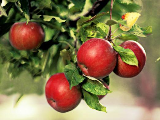 When to plant apples?